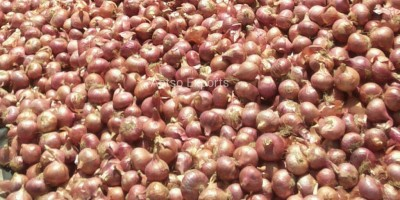 Improved Onion Varieties Bhima Red-Aptso exports (1)
