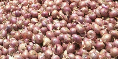 Improved Onion Varieties Bhima Red-Aptso exports